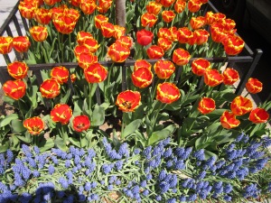 Texas Bluebells and Tulips